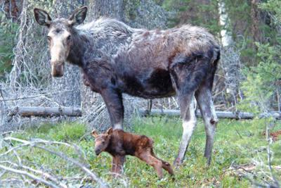 Newborn20moose