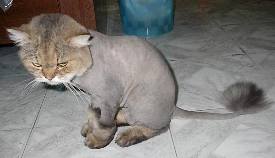 Angry_shaved_cat_2