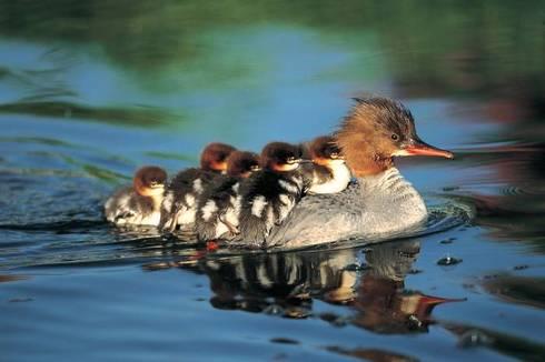 Ducks_1