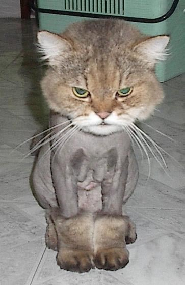 Shaved_cat